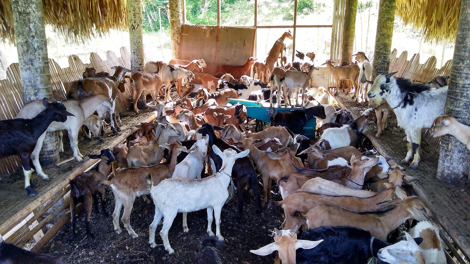 Goats for beneficiaries